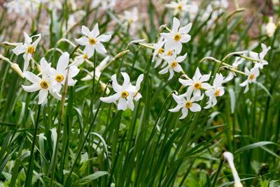 Narcisses